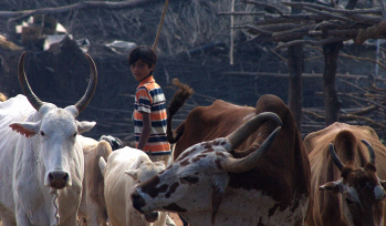Young boy tending to cows