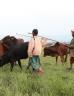 Boys herding cattle
