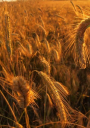Picture of a field of wheat